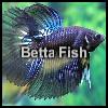 بازل السمكة الملونة 2