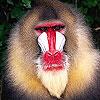 لعبة بازل صورة القرد 2