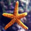 لعبة بازل نجمة البحر