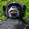 لعبة بازل صورة القرد