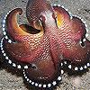 لعبة بازل صورة اخطبوط البحر
